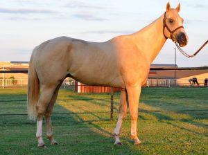 paint-gelding-conform